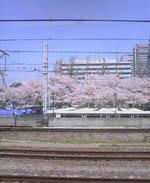 nakano_cherry.jpg